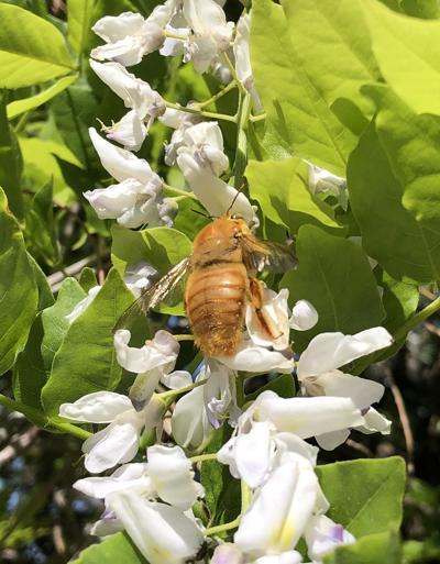 Natural Sightings #1632 - Male Valley Carpenter Bee.jpg