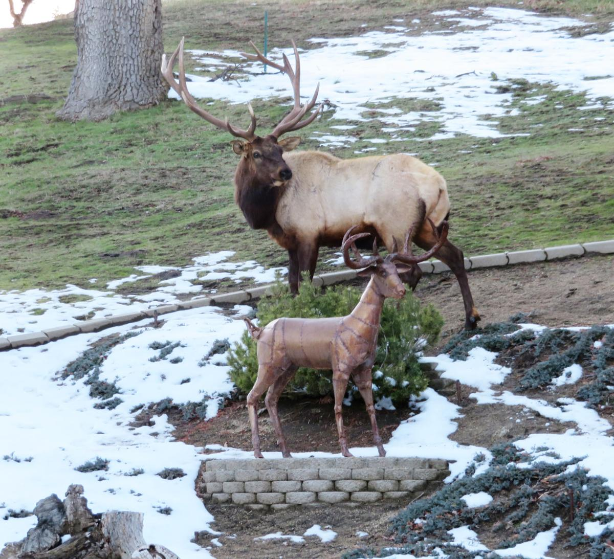 Natural Sightings #517 - Elk and Rusty  2.JPG