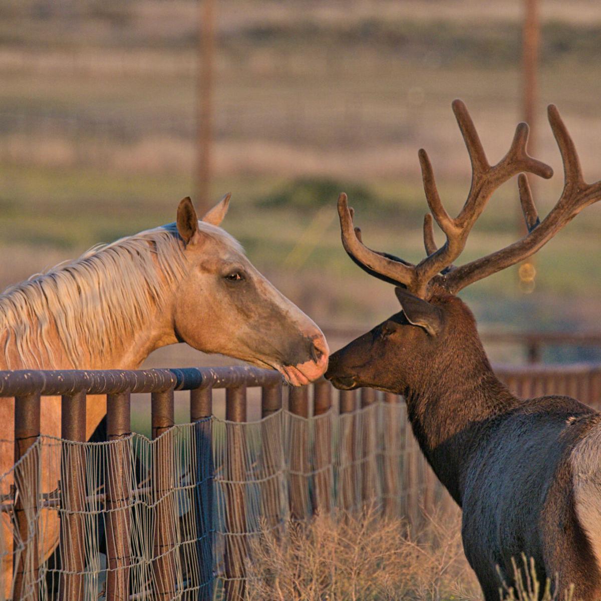 Pen in Hand #1689 - Elk and Horse 2.jpg