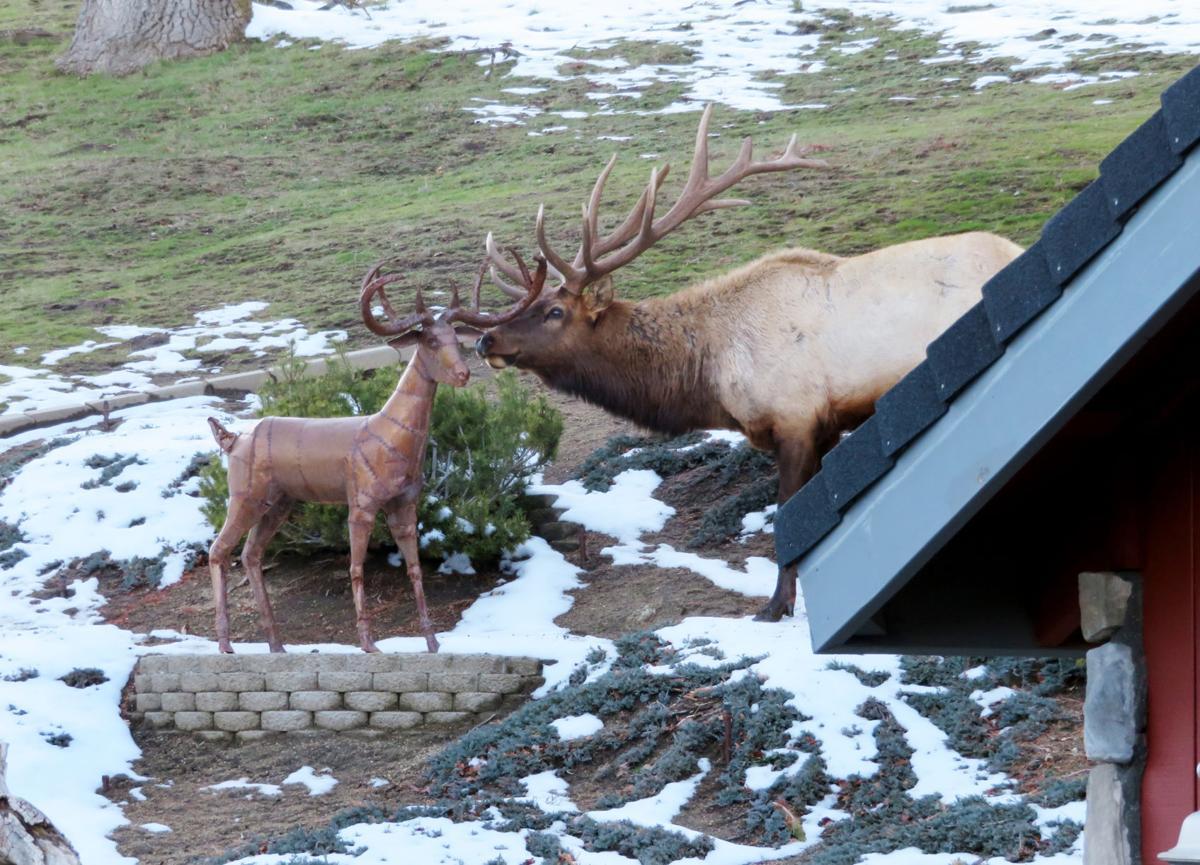 Natural Sightings #517 - Elk and Rusty  1.JPG