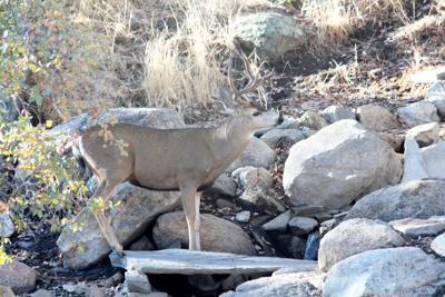 Natural Sightings #508 - Mule Deer Buck Getting a Drink.JPG