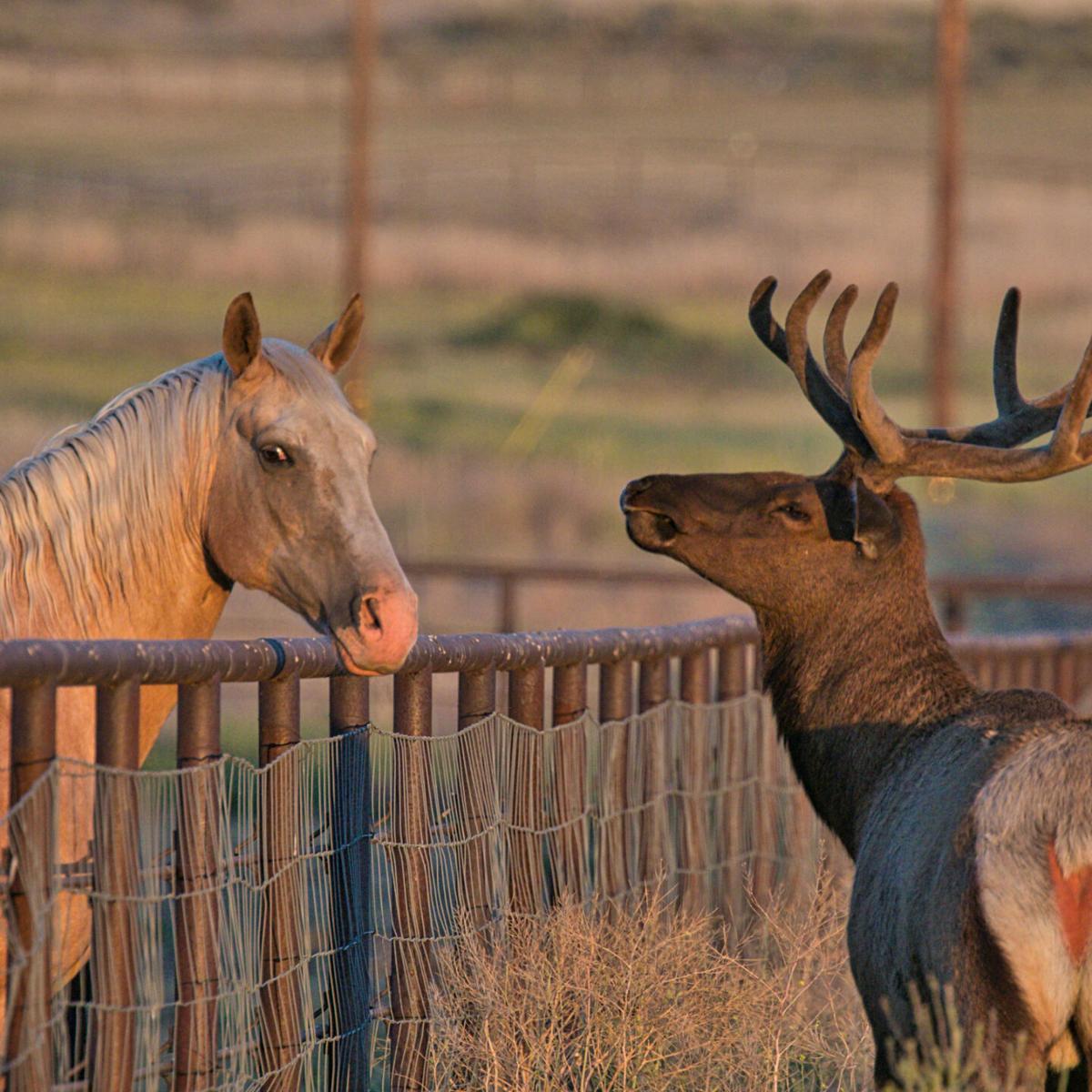 Pen in Hand #1689 - Elk and Horse 1.jpg