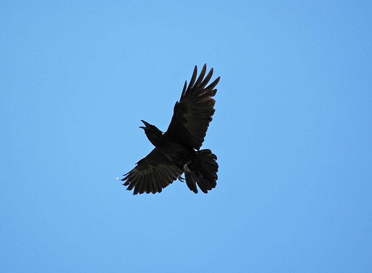 Pen in Hand #1745 - Ravens 2.jpg