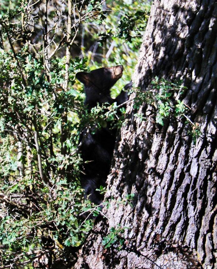 Pen in Hand #1519 - Black Bears 2.jpg
