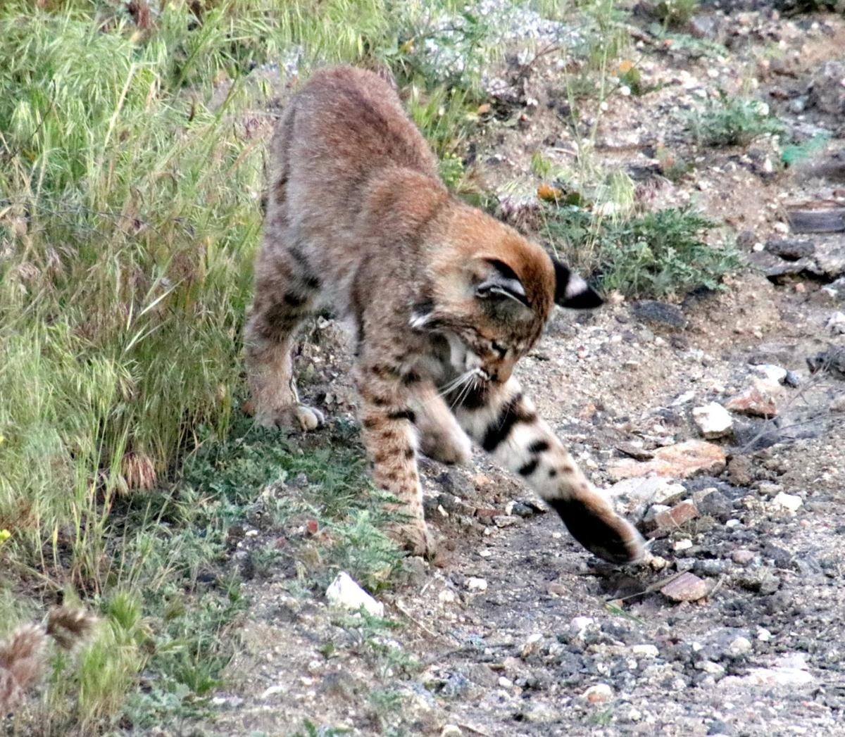 Pen in Hand #1510 - Bobcat and Mouse 2.JPG
