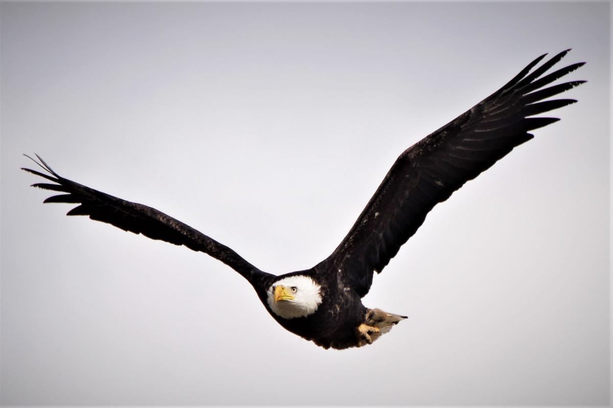 Pen in Hand #1493 - Bald Eagle 1.jpg