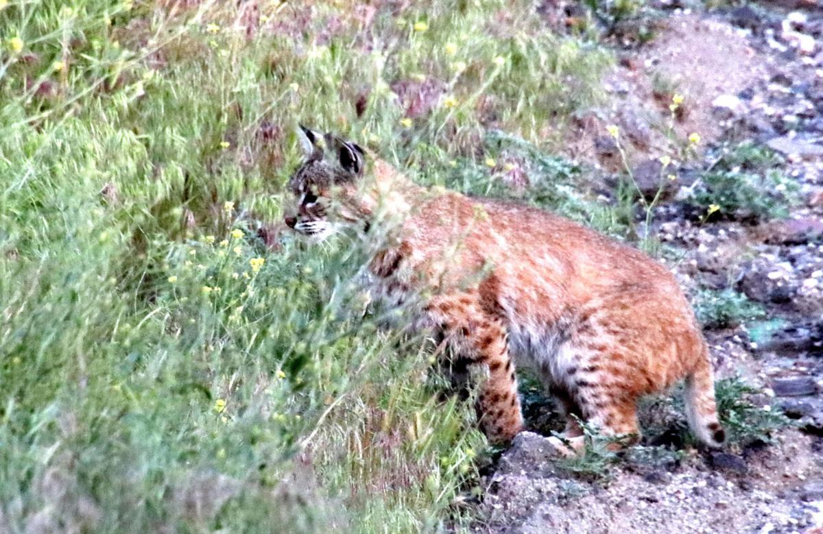 Pen in Hand #1510 - Bobcat and Mouse 1.JPG