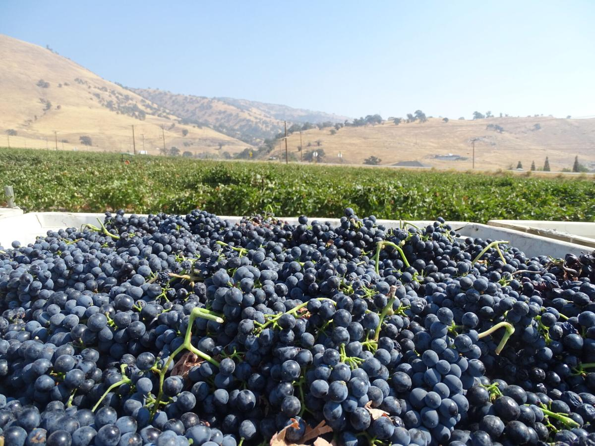 20210720-tn-visitorwineries-grapeharvest