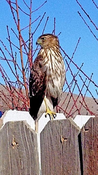 Natural Sightings #619 - Cooper's Hawk.jpg