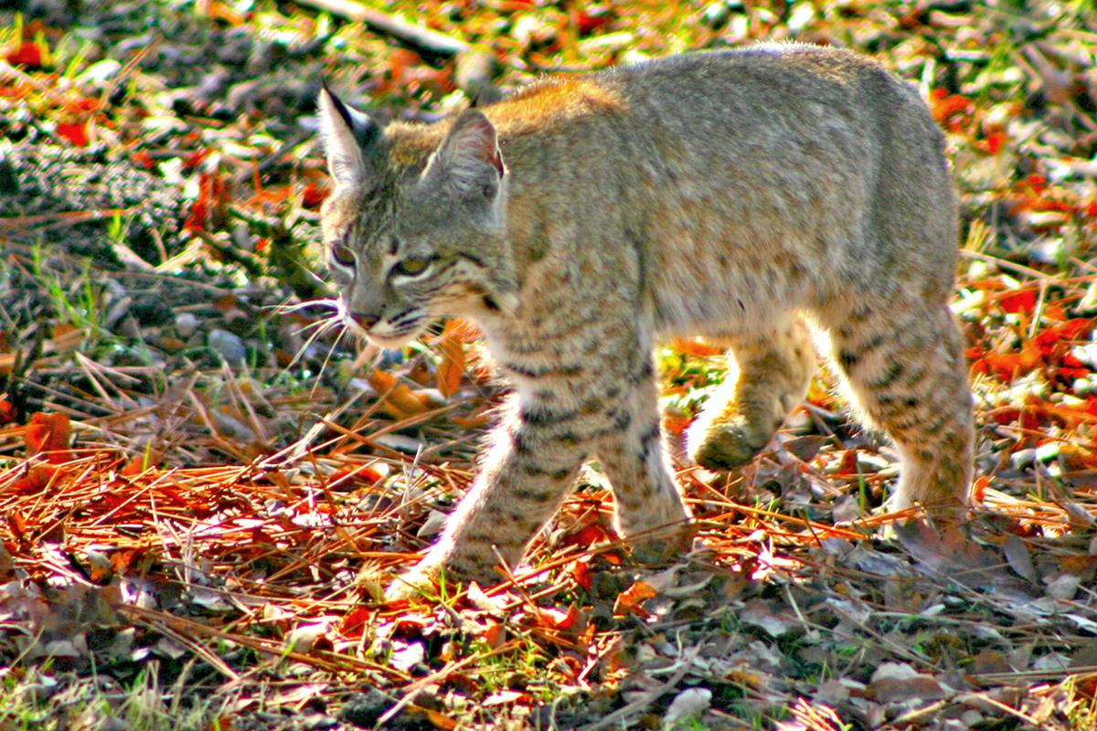 Natural Sightings #580 - Bobcat 2.jpg