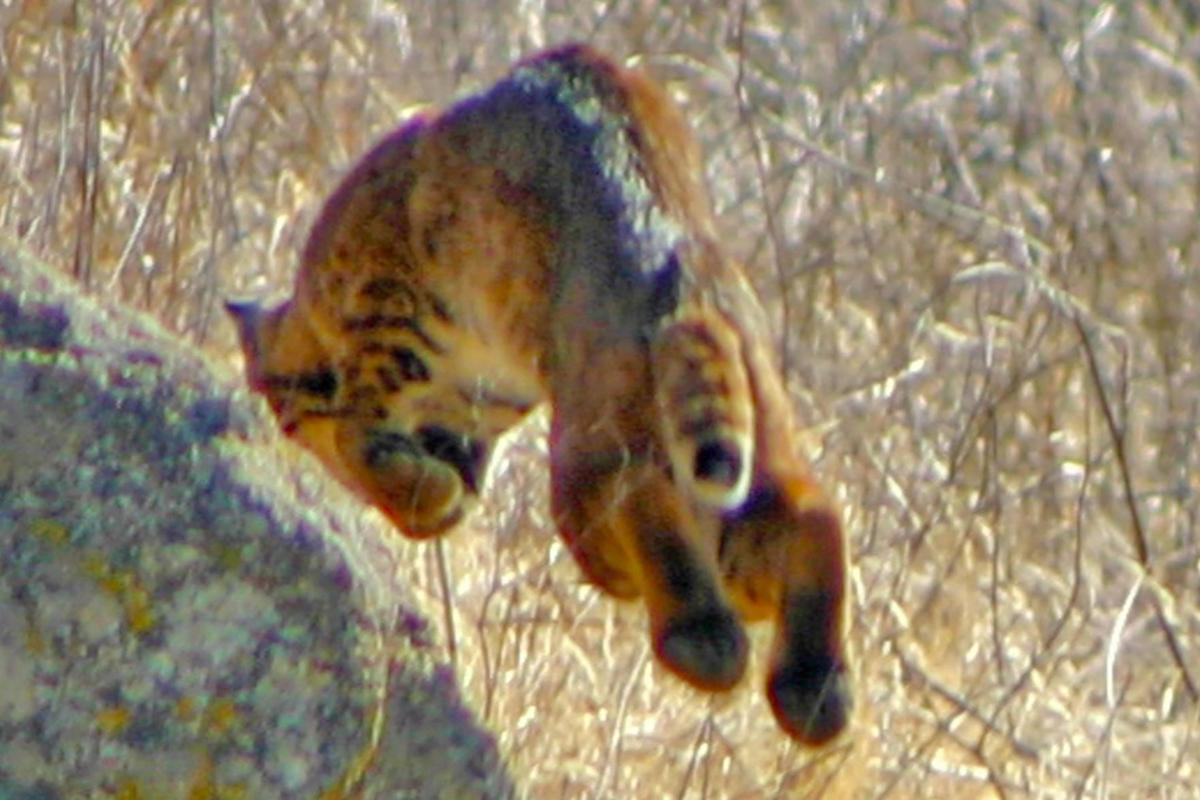 Natural Sightings #580 - Bobcat 1.jpg