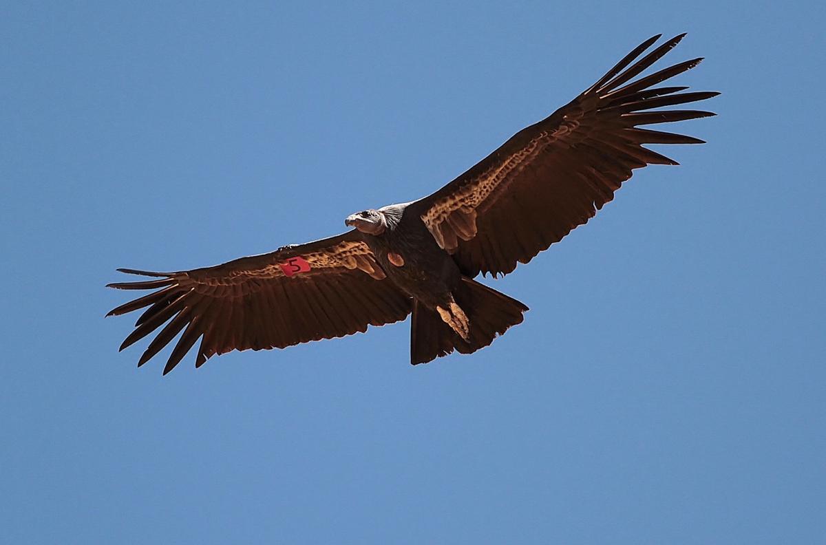 Pen in Hand #1469 - Condors Visit Tehachapi 2.jpg
