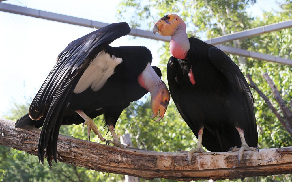 Hunters, ranchers become front line in efforts to save California condors