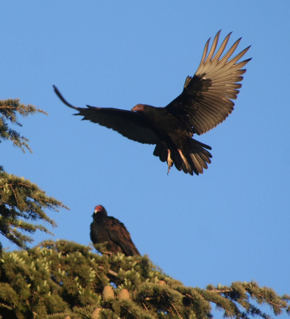 Pen in Hand #1473 - Rabbitbrush and Turkey Vultures 2.jpg
