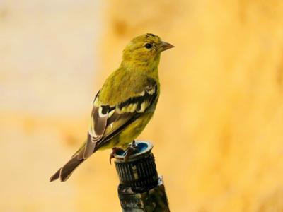 Natural Sightings #617 - Lesser Goldfinch.jpg