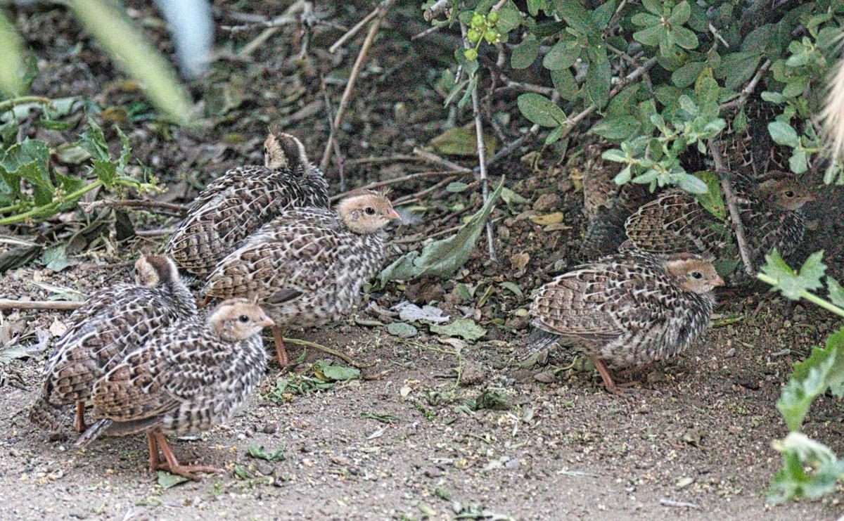 Pen in Hand #1697 - California Quail Chicks 2.jpg