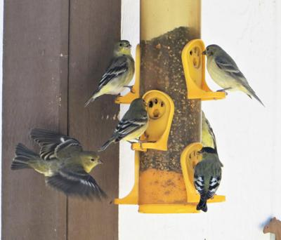 Natural Sightings #548 - Lesser Goldfinches.JPG