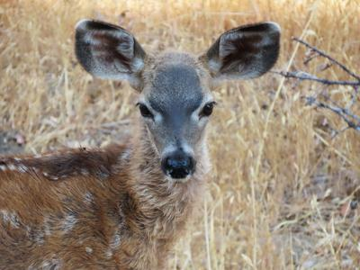 Natural Sightings #651 - California Mule Deer Fawn.jpg