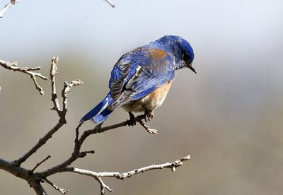 Natural Sightings Bluebird