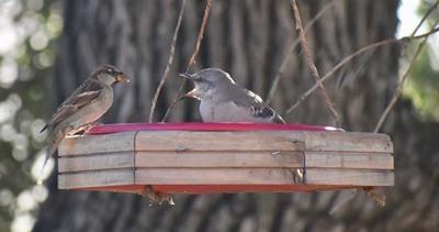 Natural Sightings #558 - Mockingbird and House Sparrow.jpeg
