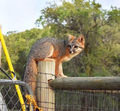 Natural Sightings #494 - Gray Fox on Fence.JPG