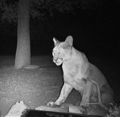 Natural Sightings #649 - Mountain Lion.JPG