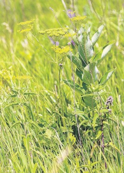 Wild parsnip gaining ground