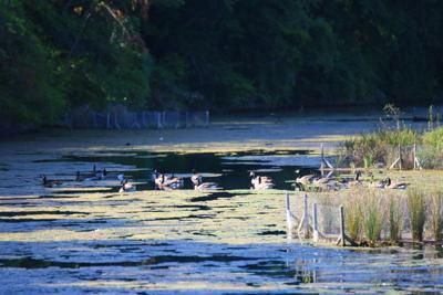 Full grown geese in Sequioa wetlands