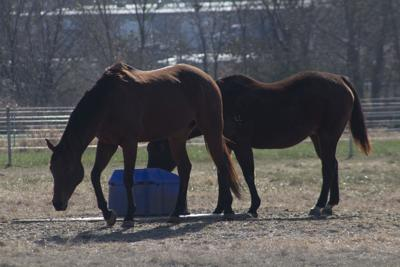 Horses roam at the Darr College of Agriculture