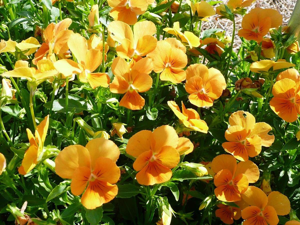 Lsu Agcenter News Its Time To Plant Pansies And Violas Home