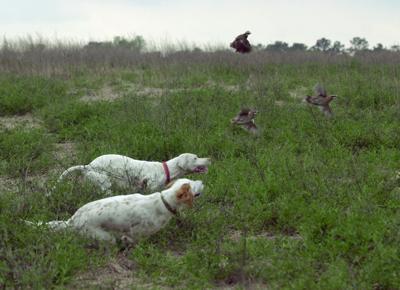 Pearl, Belle point quail... 01/20/04
