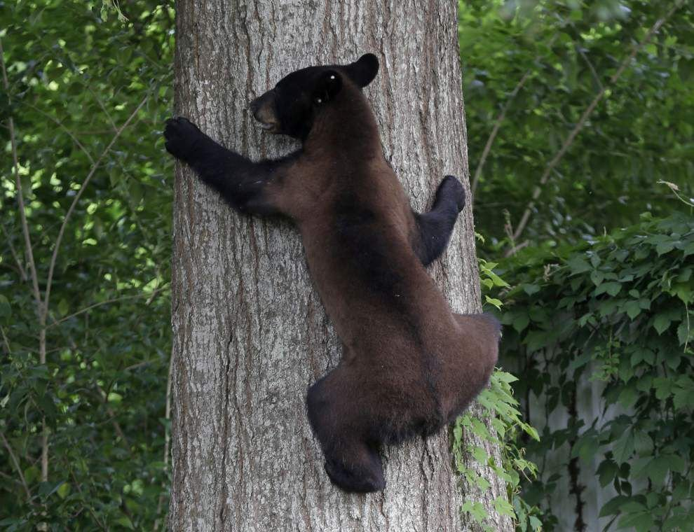 Louisiana black bear, of teddy bear fame, could get off threatened list, following lead of state signature species alligator, brown pelican _lowres