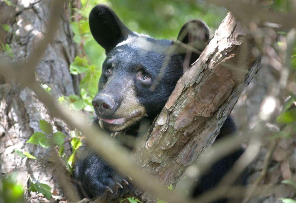 Black bear euthanized after frequenting area _lowres