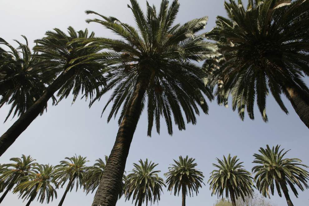 Palms a dramatic addition to local landscapes _lowres