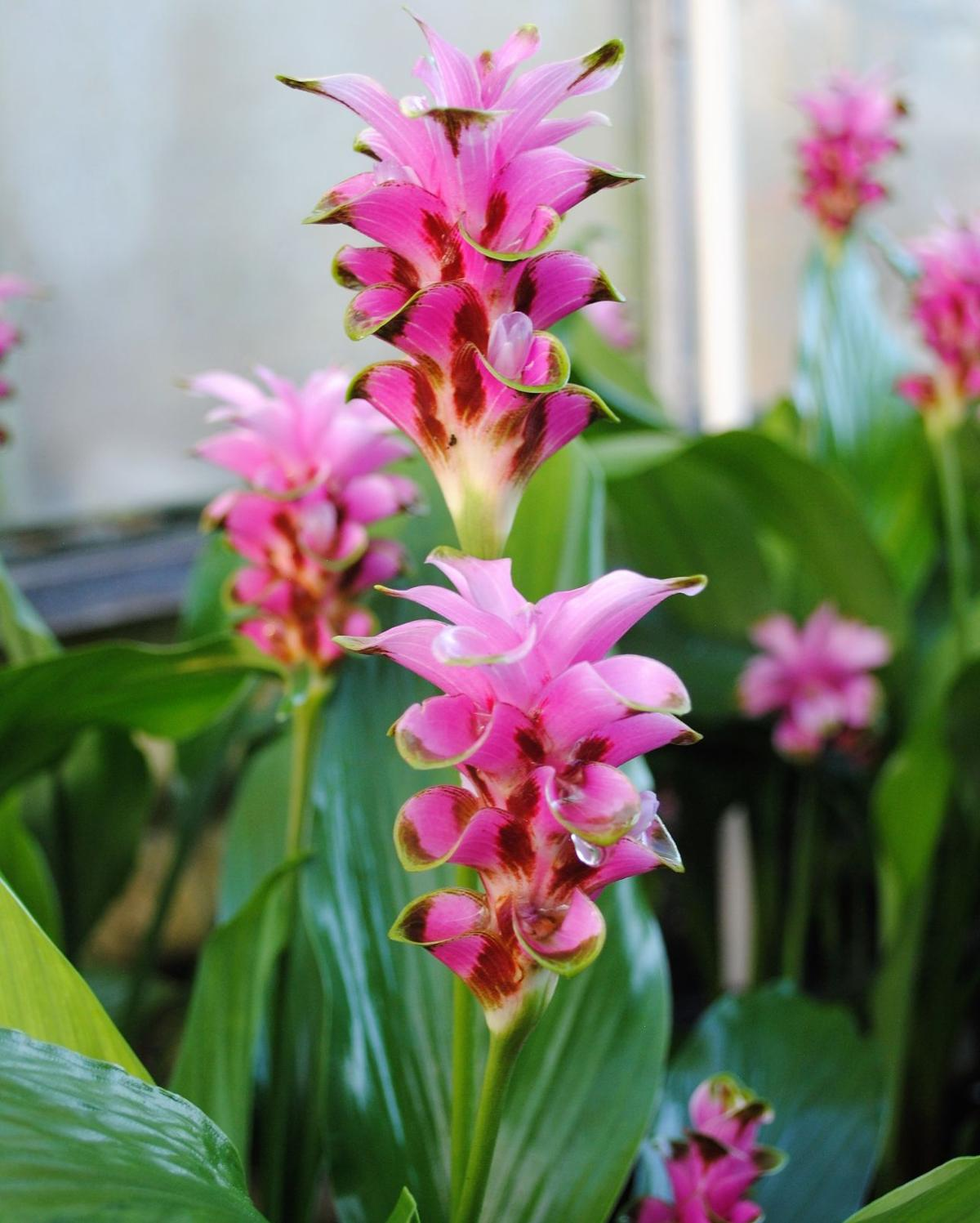 Greenhouse Offers Heat Tolerant Gingers And More For Sale Home