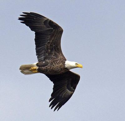 Eagle Expo celebrates Bald Eagle in Louisiana _lowres