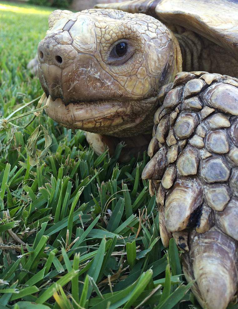 100-pound tortoise reunited with Old Metairie owners after digging out of the backyard and wandering the street _lowres