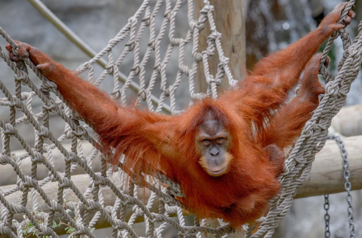 International Orangutan Day 2