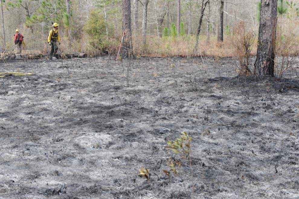 Controlled burns help keep longleaf pine forests healthy, officials say _lowres