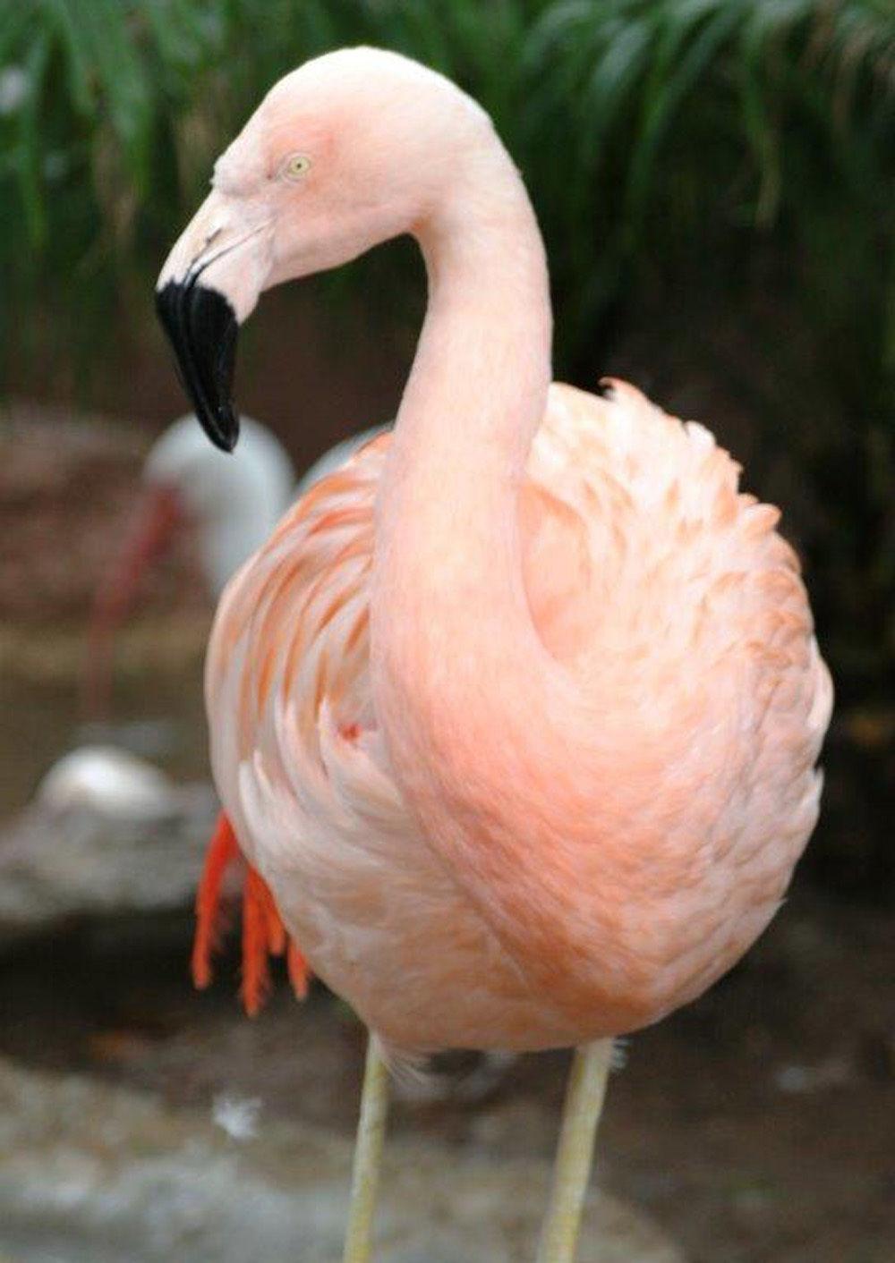 Florida dad fatally injures 'Pinky' the dancing flamingo
