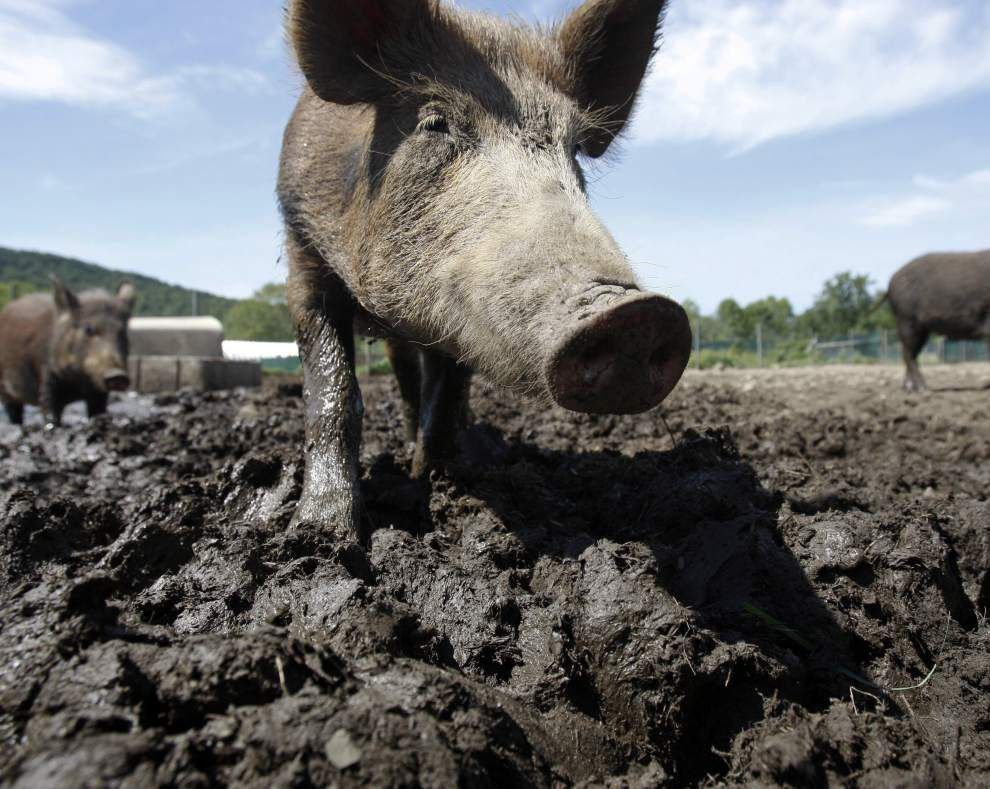 Huge problem' of transporting wild hogs in Louisiana could