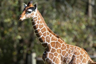 Burreaux the giraffe (copy)