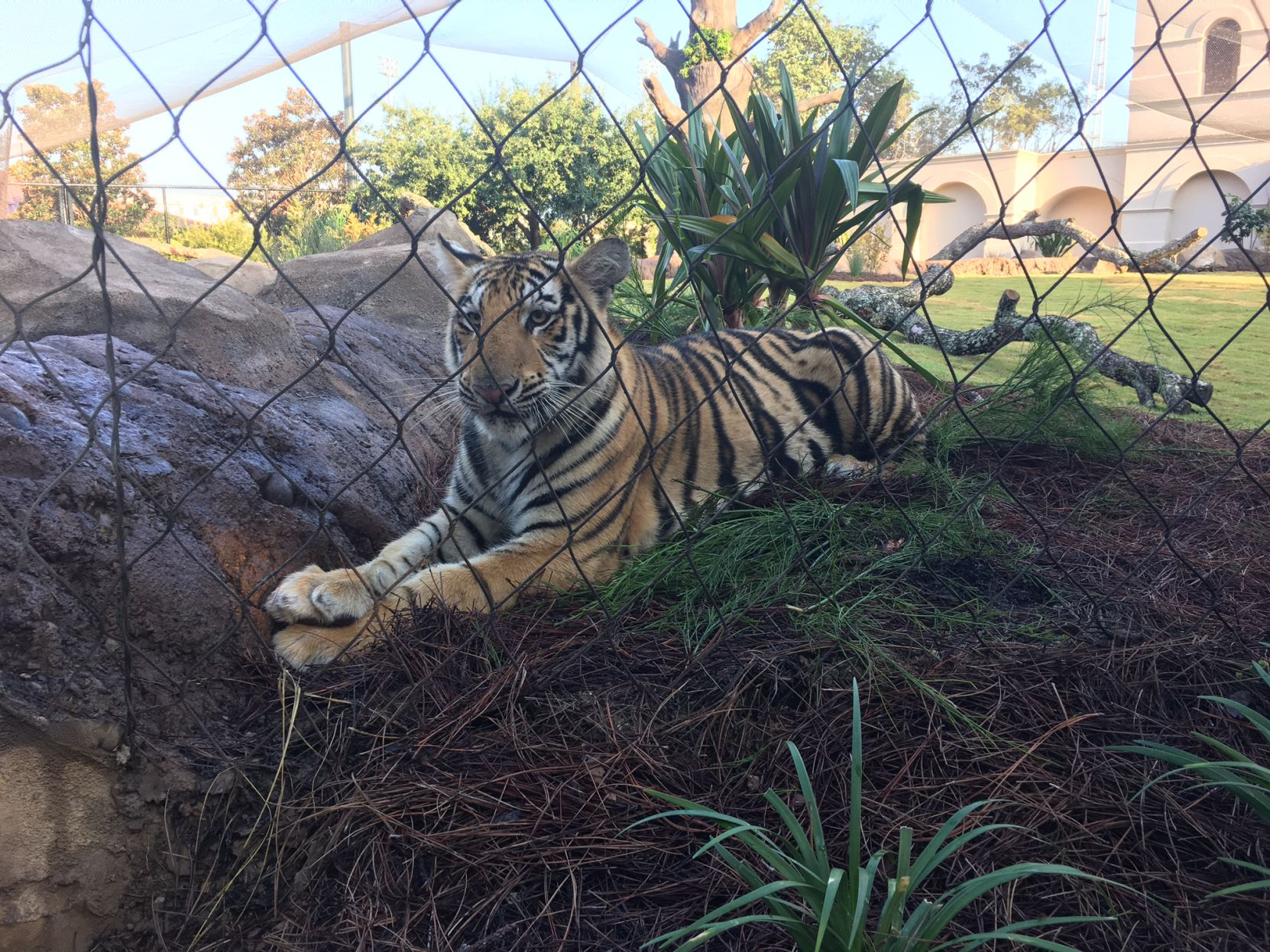 He's ready for his closeup: Mike VII makes debut at LSU