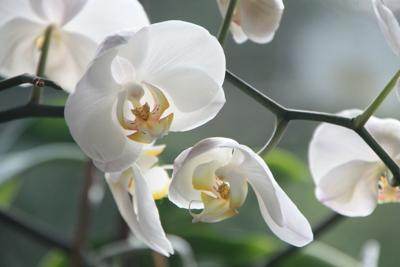 orchid phal.jpg (copy)