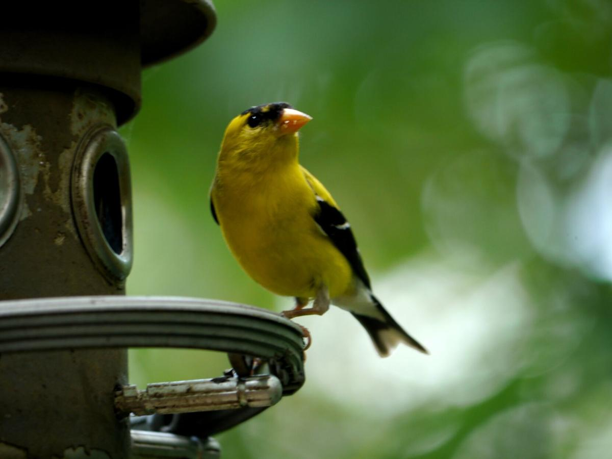 American Goldfinch (male).jpg
