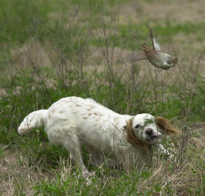 Friday's Quail Forever event aims to preserve age-old shooting sport