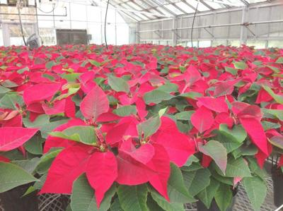 Garden News: Take your pick of colorful poinsettias _lowres