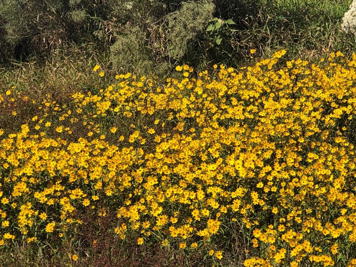 swamp sunflower 1.jpg
