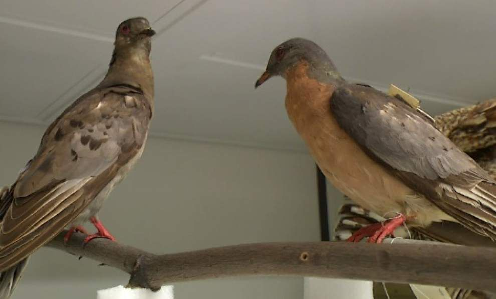Last known passenger pigeon, which died in 1914, now on display at Smithsonian _lowres