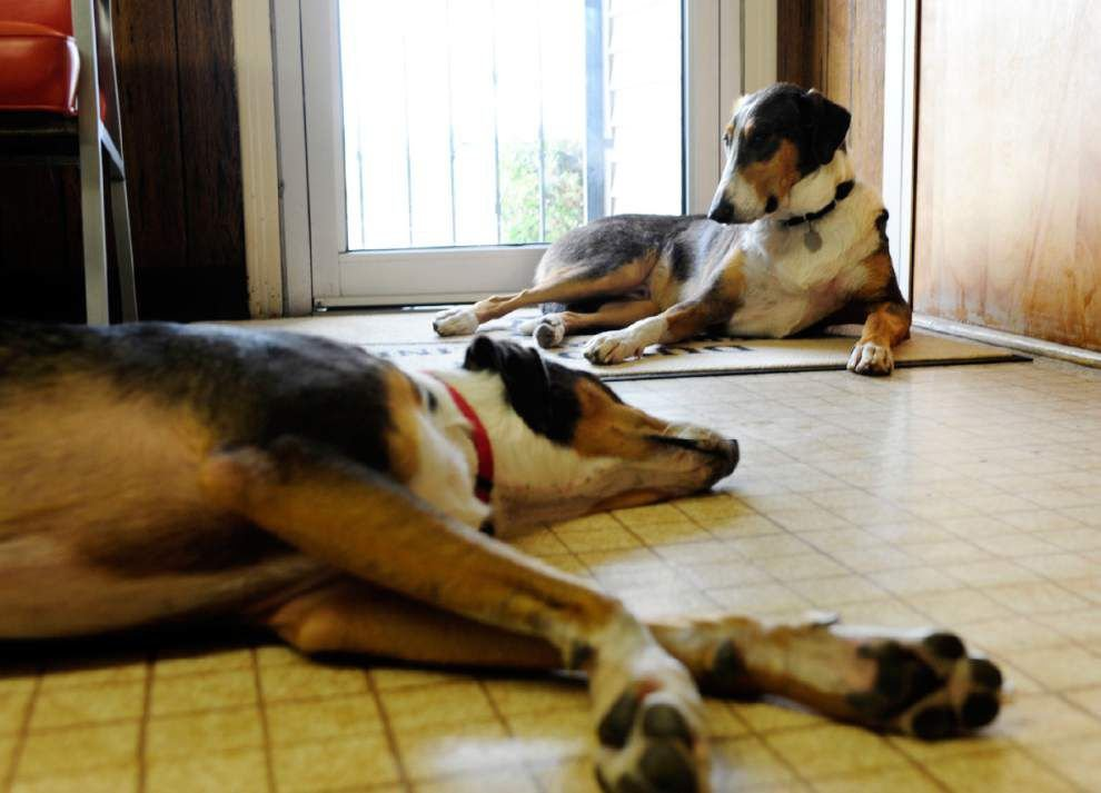 Man's best friends: Lafayette veterinarian was so attached to his dog Melvin, he had him cloned _lowres